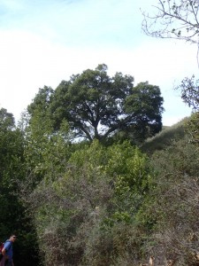 Coast Live Oak (Quercus agrifolia)