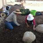 Planting native grasses in the infiltration pit - torrance, ca