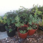 Native Plants for West High School Rain Garden - torrance, ca