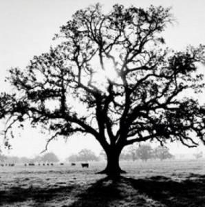 oak_tree-11911