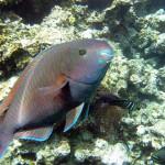 parrot fish Fiji