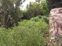 ceanothus hillside